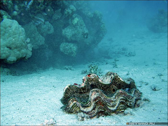 Пластинчатожаберный моллюск
